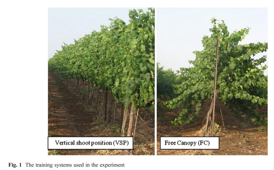 Figure 1 from Zahavi and Reuveni 2012  sc 1 st  The Academic Wino & Different Vineyard Training Systems Alter Susceptibility of Grapes ...