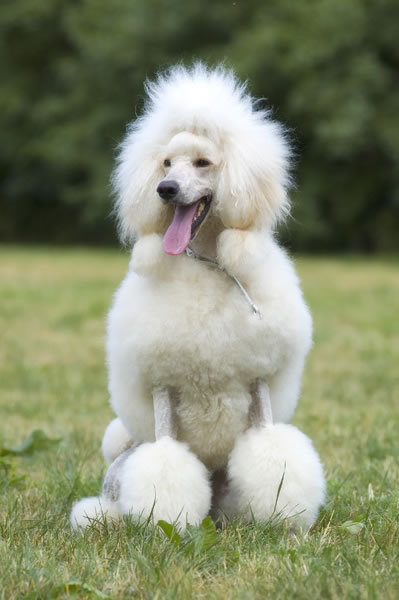 Cute Poodle Dog Pictures | Dogs Breeds and Puppies Reviews