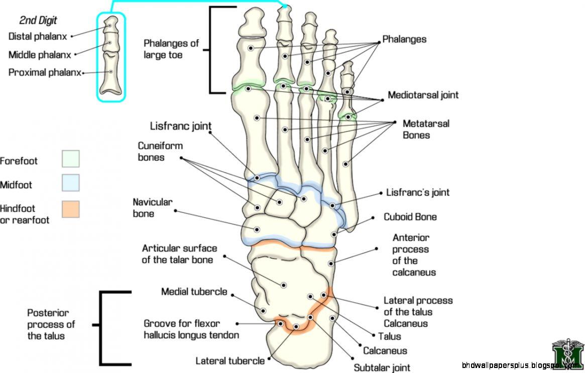 Foot Bones Anatomy Hd Wallpapers Plus