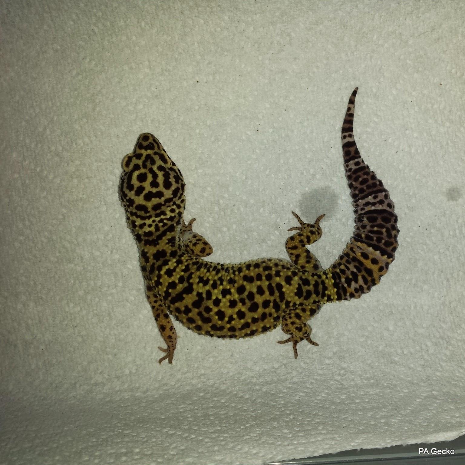 PA Gecko Afghanicus Female