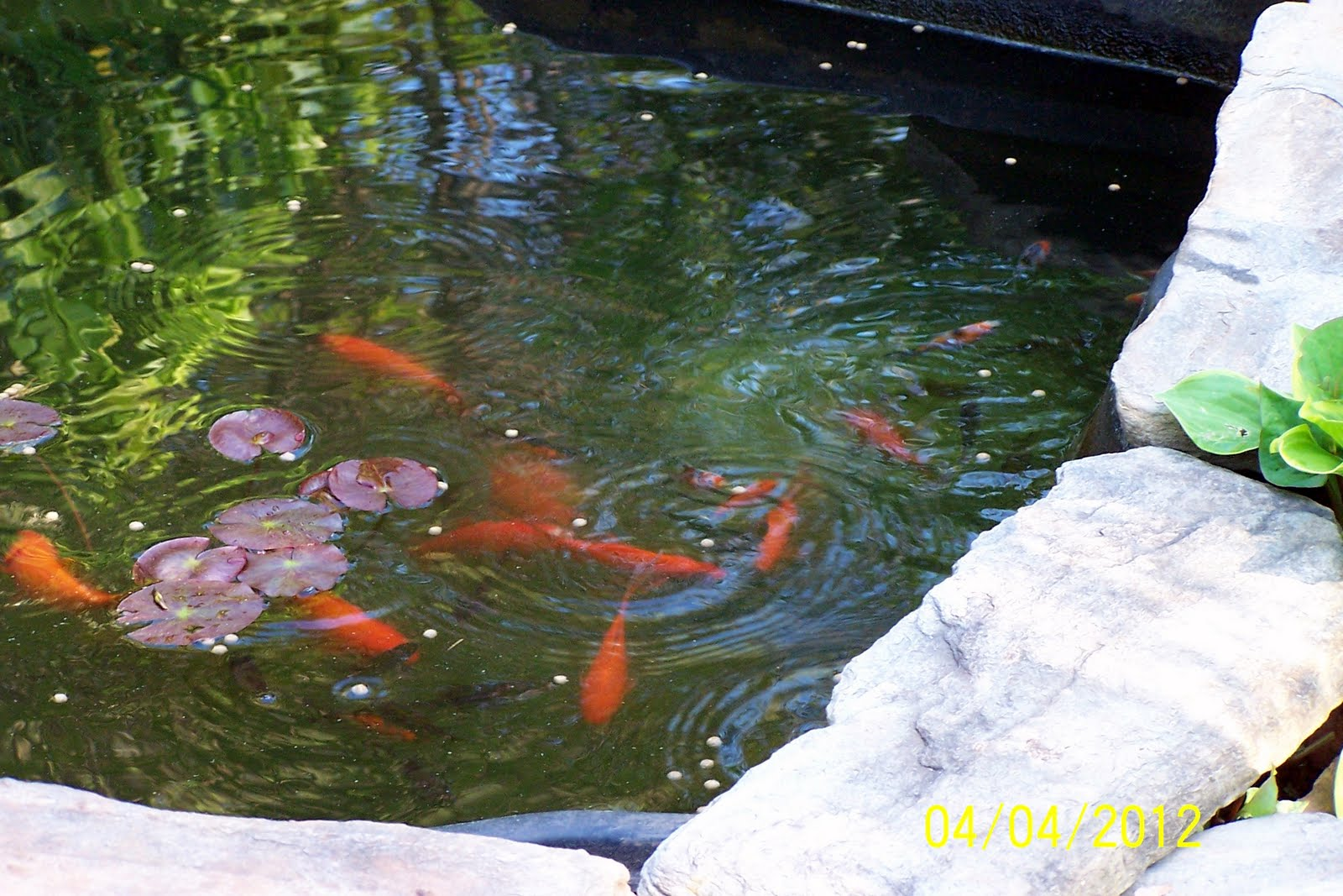 Jean the plant lady fish ponds for Plants for small fish ponds