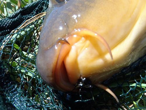 Lipless carp on a Primordial Carp-Stew fly