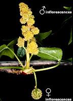Monoecious plants