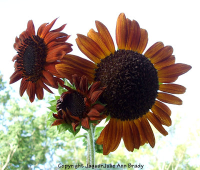 Three Magnificent Autumn Beauty Sunflower Blossoms