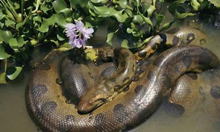 Bolivian anaconda - photo#19
