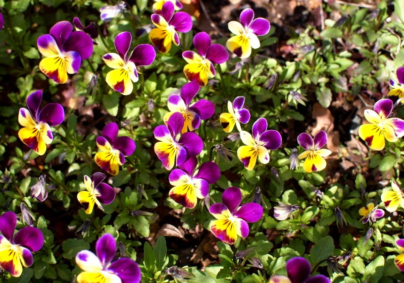 Find flat flowers like Johnny Jump-ups