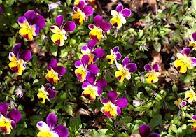 Find flat flowers like Johnny Jump-ups