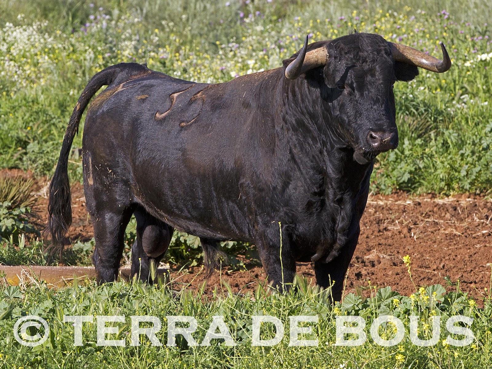Terra de bous cuadri camada 2013 - Ebanistas en madrid ...