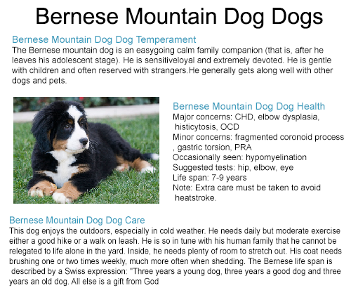 bernese mountain dog rescue