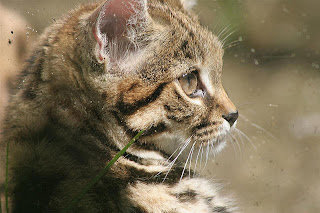 African-Black-Footed-Wild-Cat-Head-Shot