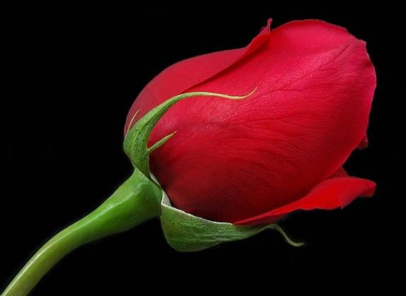 Bunga Mawar Merah Rose Wallpaper Hd