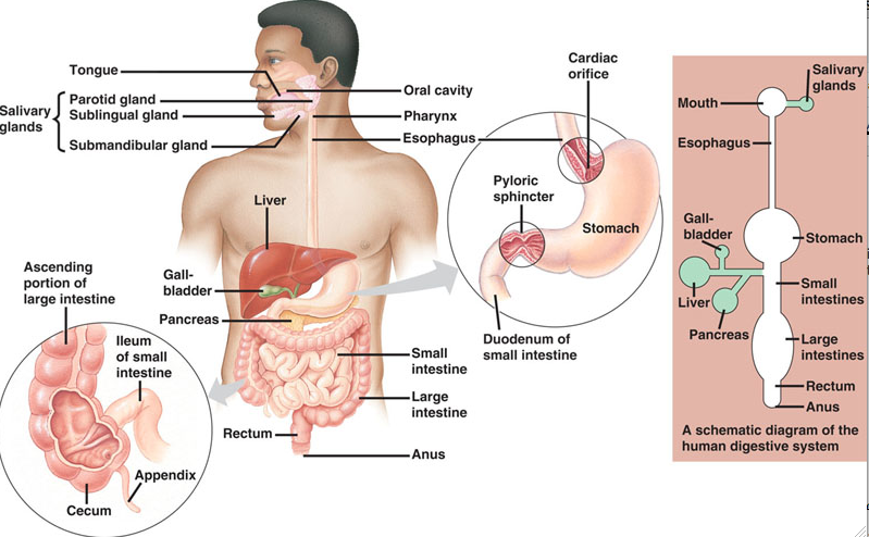 Distinguish between absorption and assimilation biology the human digestive system np nd web 04 nov 2012 httpellies whole grainshuman digestive systemml ccuart Image collections