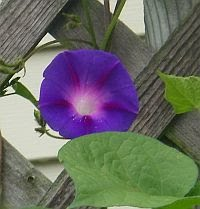 Morning Glories Climb