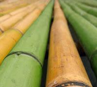 Bambu Sarı Yeşil Kuru