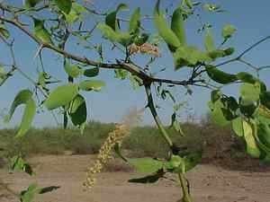argentinian trees vinal Prosopis ruscifolia