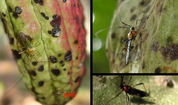 Penghisap Buah Kakao (Helopeltis sp.)