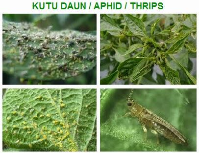 Serangan Kutu / Aphid / Thrips