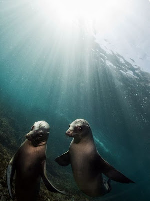 sea lions pair love animals picture