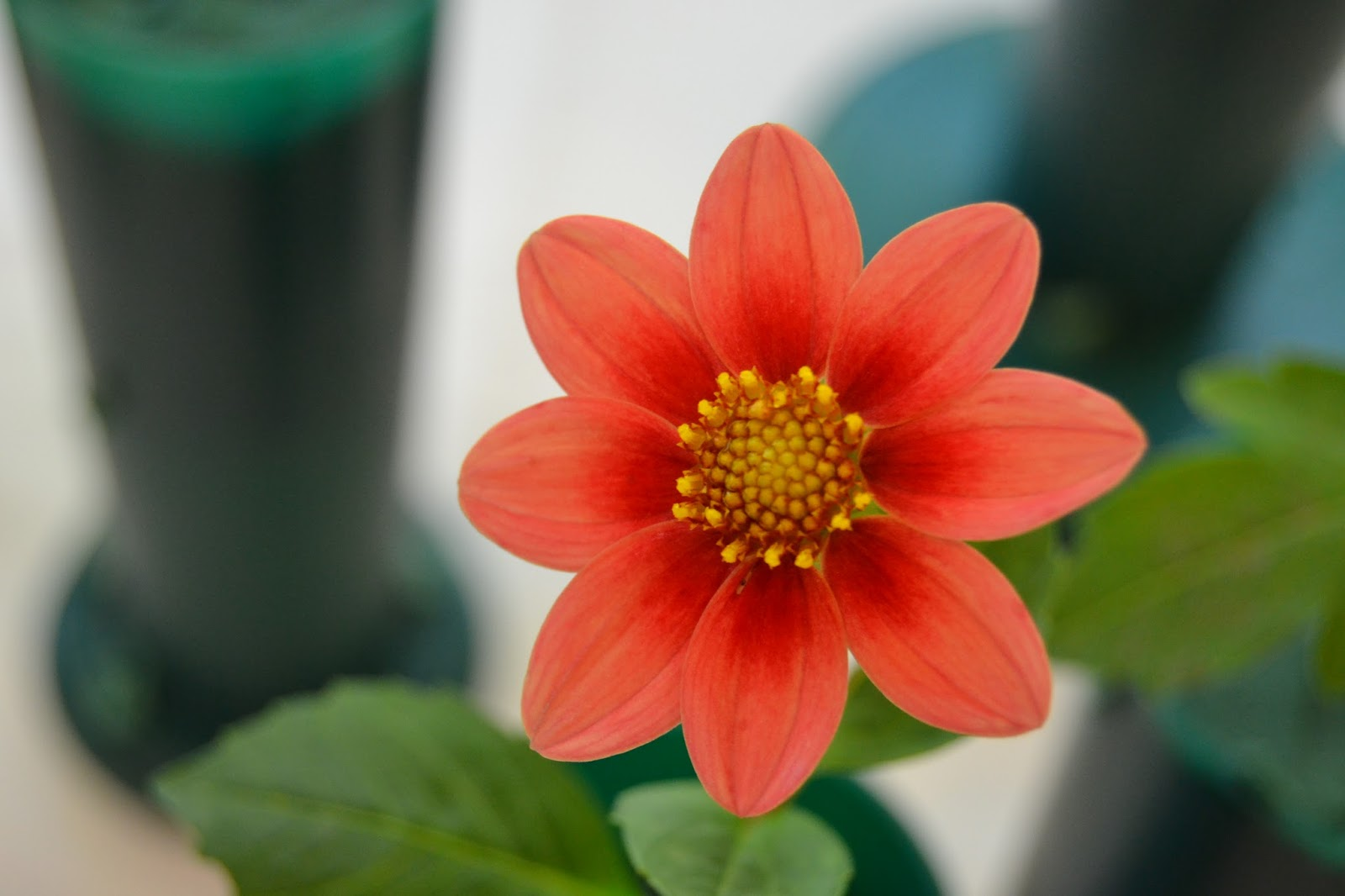 Dahlia Flower in Different Colors | Flower and Garden