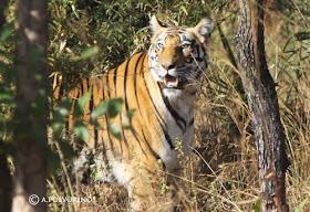 India. En busca del Tigre