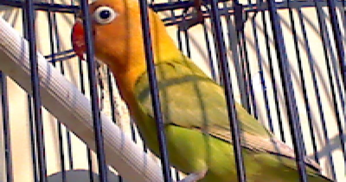 jual love bird kepala emas jogja ternak kenari