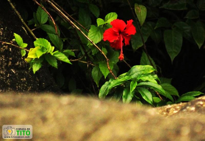 Singela flor na praia do Vai-Quem-Quer, na ilha de Cotijuba, no Pará