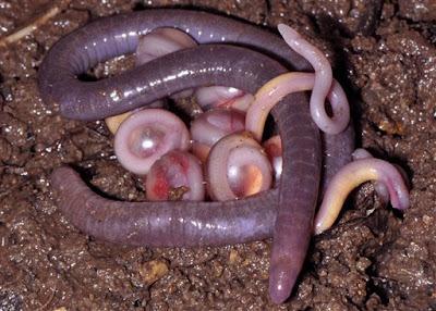 nueva serpiente anfibio descubierta en la india 2012