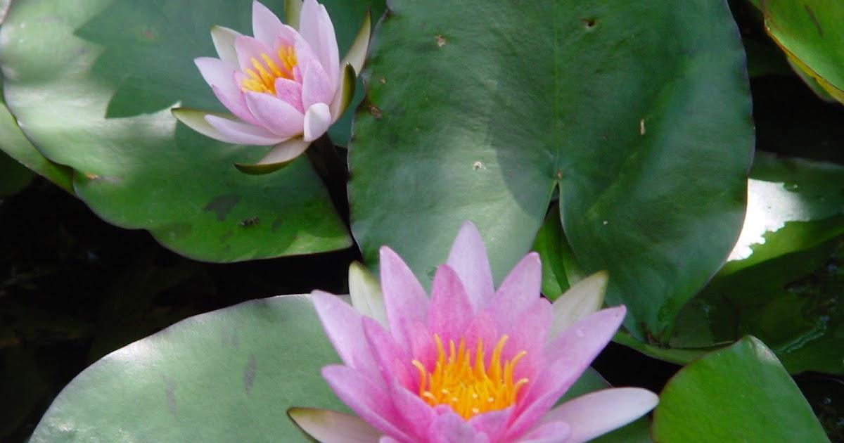 Jardineria eladio nonay plantas acu ticas de follaje - Jardineria eladio nonay ...
