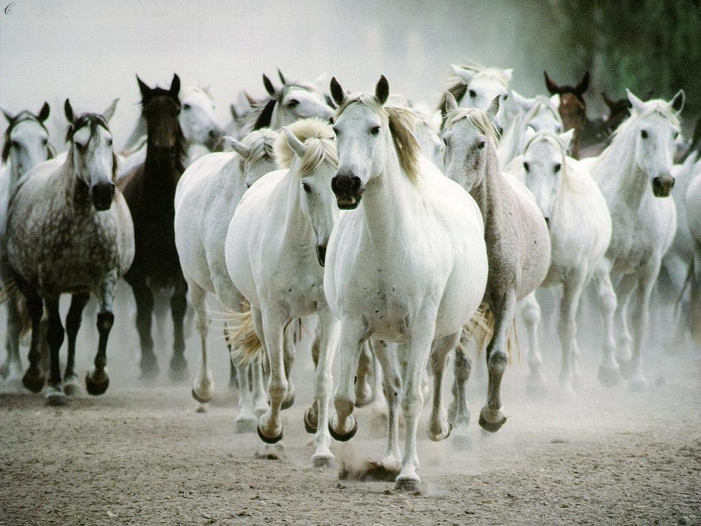 White running horses - photo#2