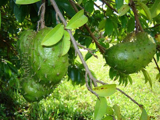 "Graviola Tree in Brazil, guanabana in Spanish and ""The sour sop"" in English dictionary"