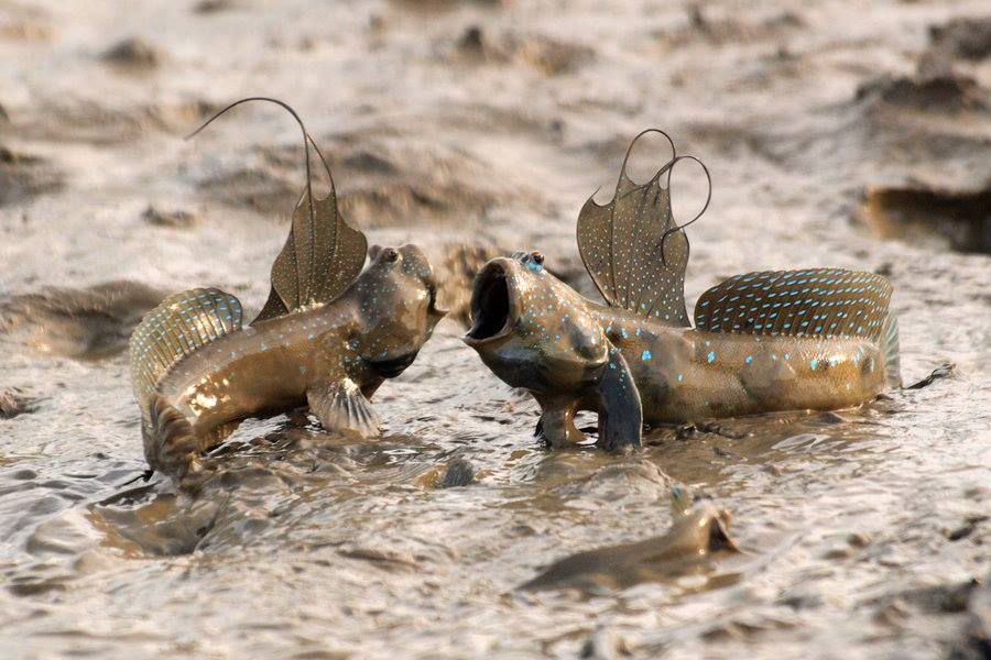 Atlantic Mudskipper : Teasing Times: Mudskippers (A fish that can live out of the water ...
