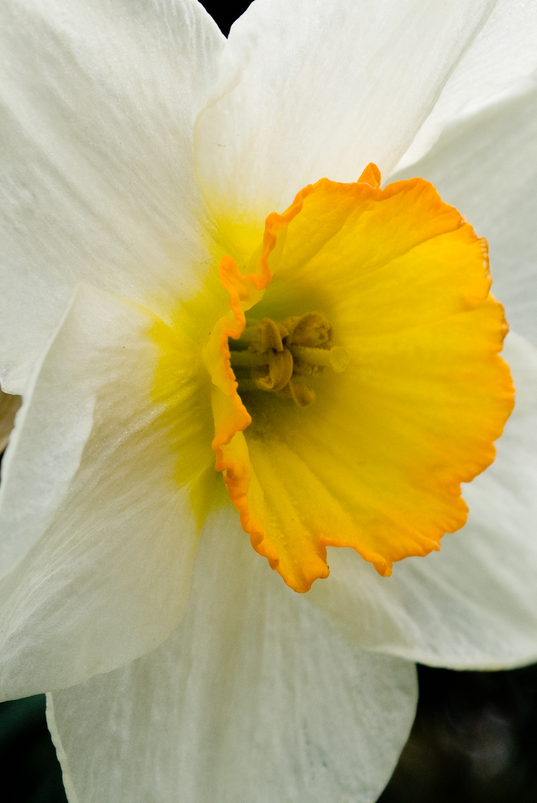 Flowers World Daffodil White Petals Yellow Cup