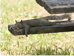 esquilo dorminhoco
