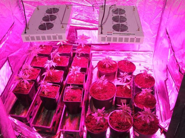 coltivazione marijuana al chiuso - semi di marijuana
