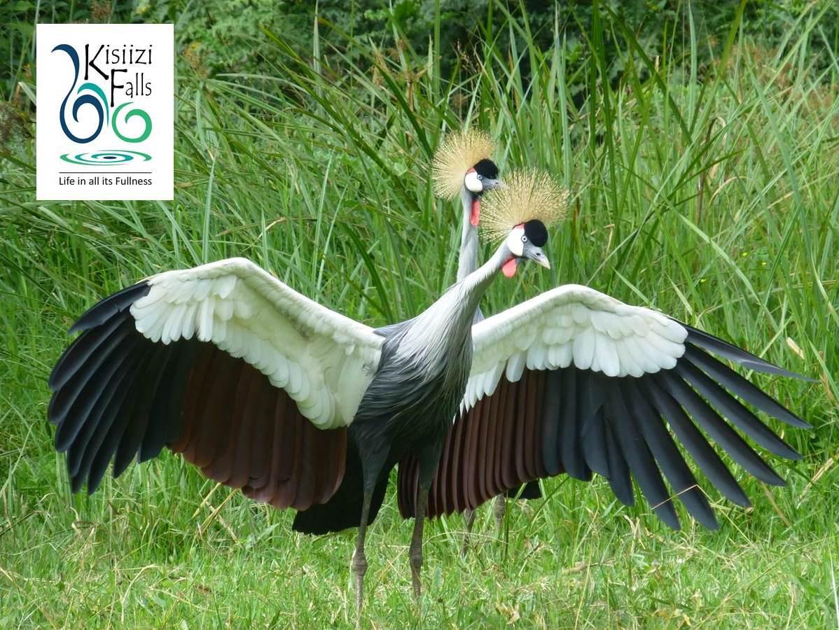 Magnificent Crested Cranes