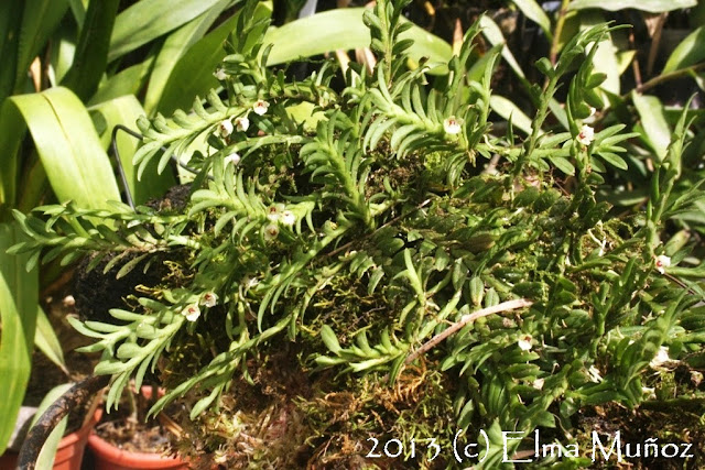 Dichaea anchoraelabia. Foto de orquideas