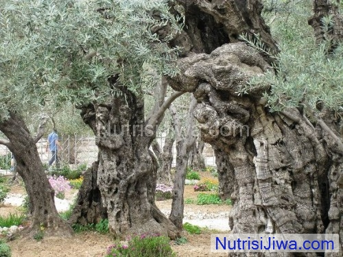 Pohon zaitun 900 tahun menjadi pohon tertua di dunia