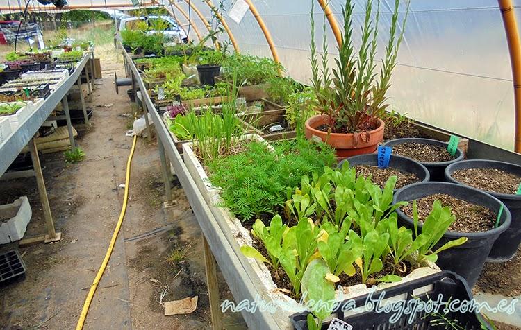germinando lechugas y mas plantas