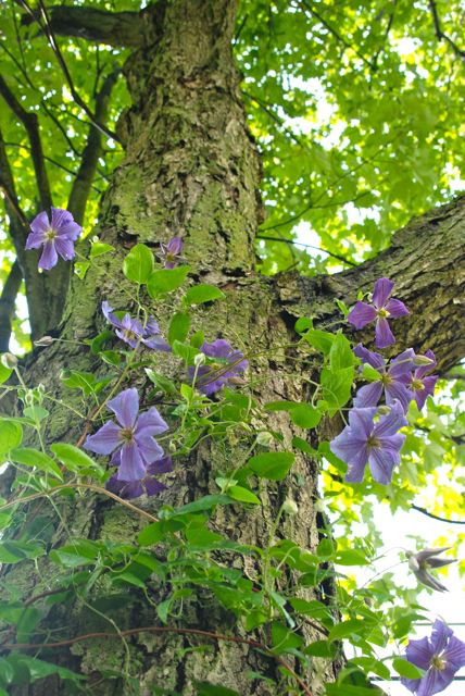 Clematis 'Perle d'Azur' up, up the tree trunk.