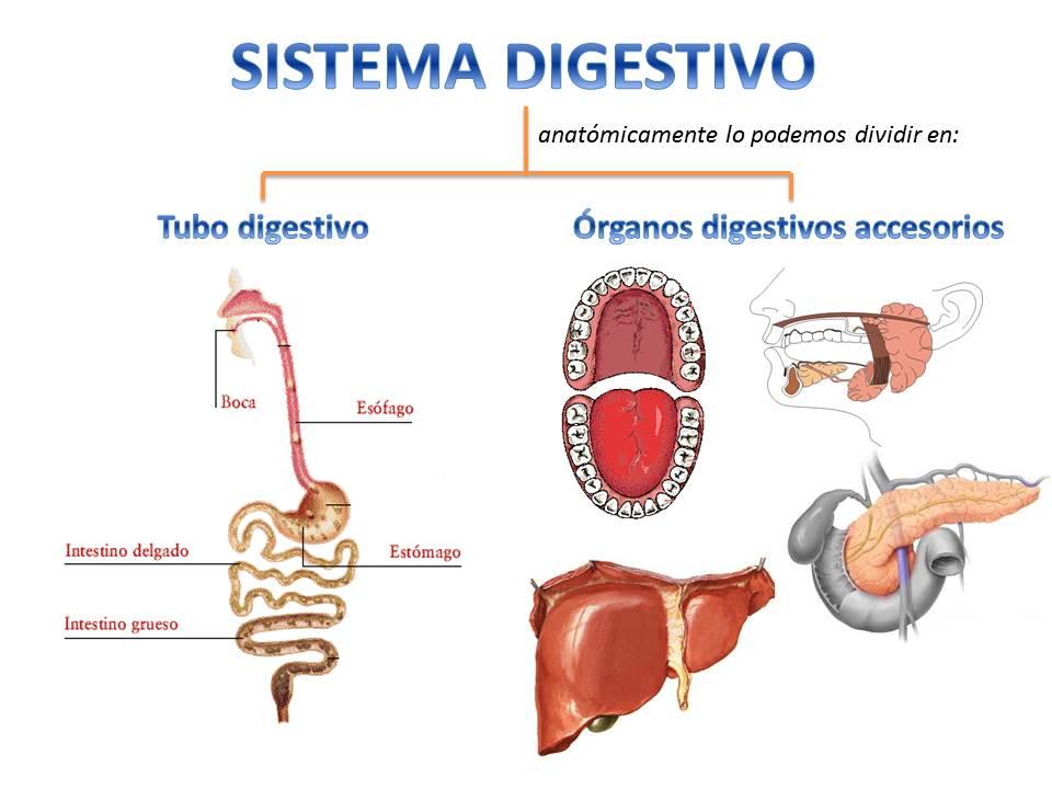 Hermosa De órganos Del Sistema Esquelético Viñeta - Anatomía de Las ...