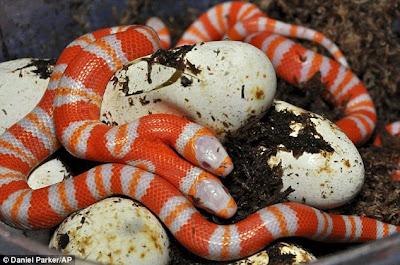Ular Albino Berkepala Dua di Florida Heboh ... Ular Albino Berkepala Dua Muncul di Florida