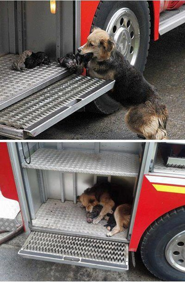 Mother dog saves her puppies from a house fire and put them safely in a fire truck