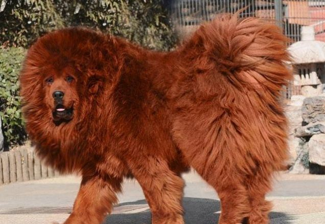 red Tibetan mastiff has become the priciest dog in the world after ...