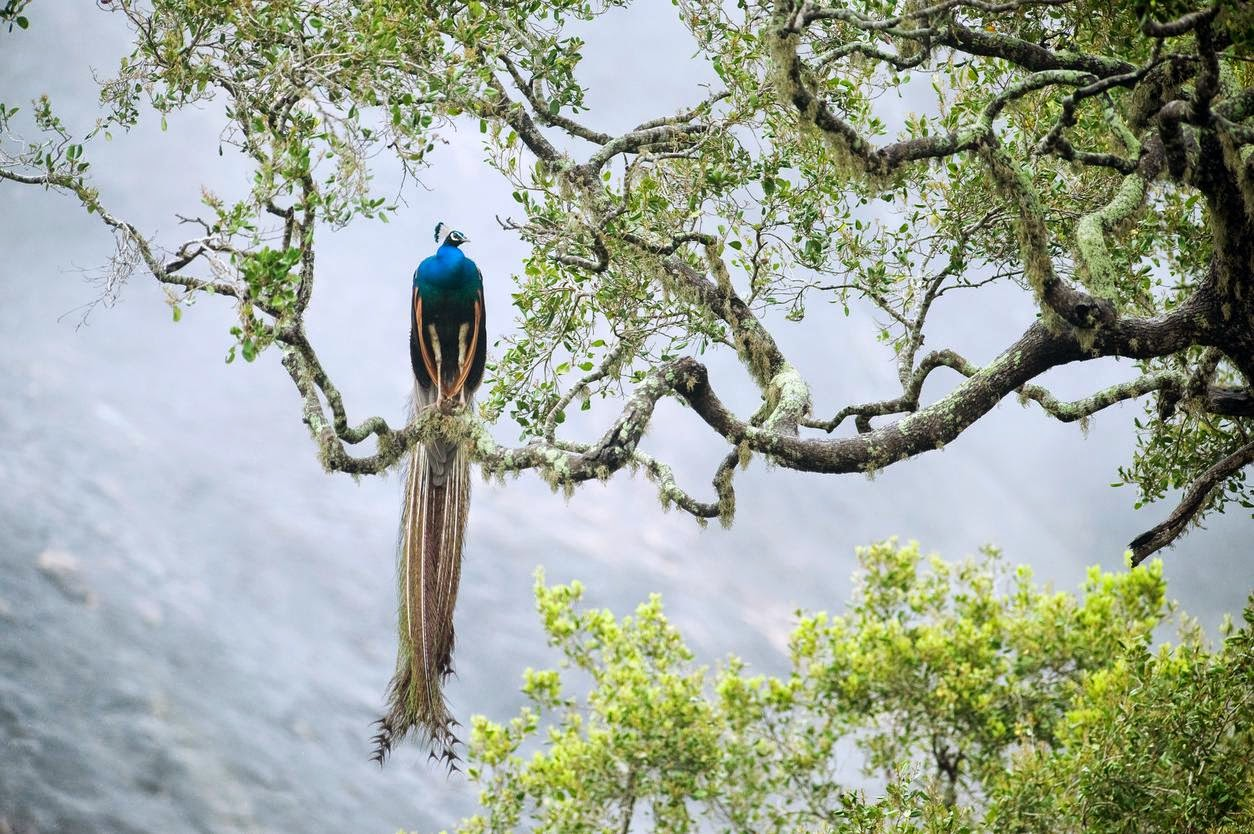 A peacock in Yala National Park. Credit Kevin Schafer/Corbis   More stability means better access to more treasures.