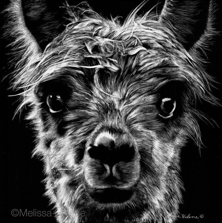 01-Alpaca-Melissa-Helene-Amazing-Expressions-in-Scratchboard-Animal-Portraits-www-designstack-co