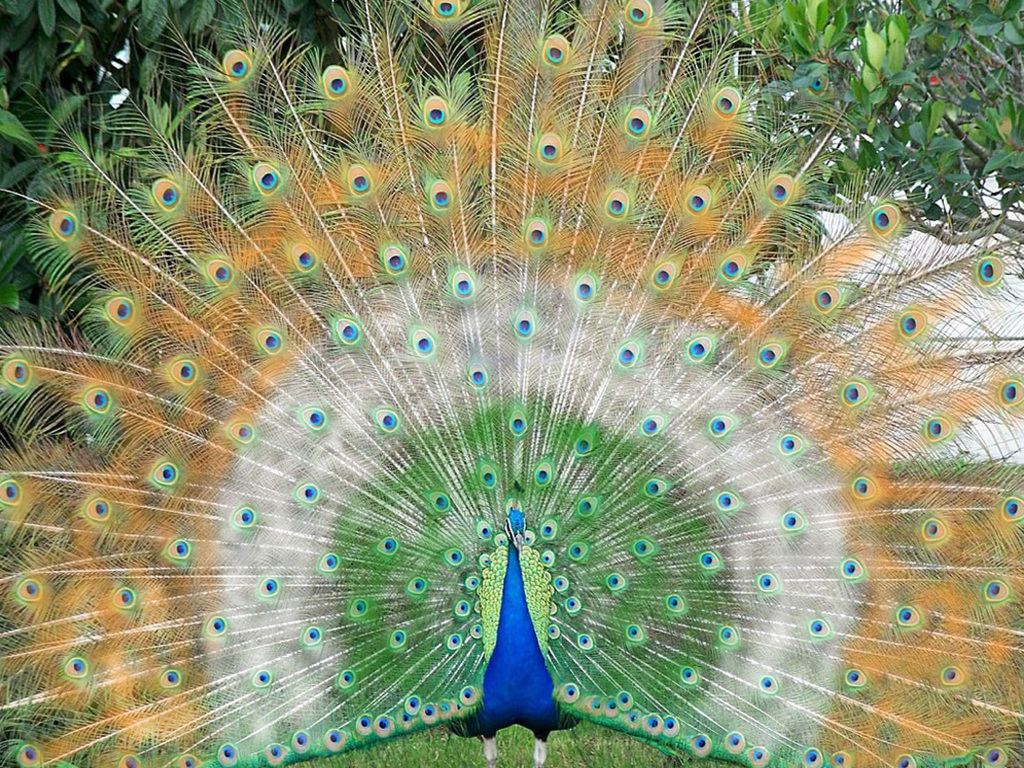 http://3.bp.blogspot.com/-wsg2e3JHlmM/Tph8wx7ISdI/AAAAAAAABCk/9jhaYGA5-wk/s1600/Beautiful%20Peacock%20hd%20wallpapers%20free%20download%20-5.jpg