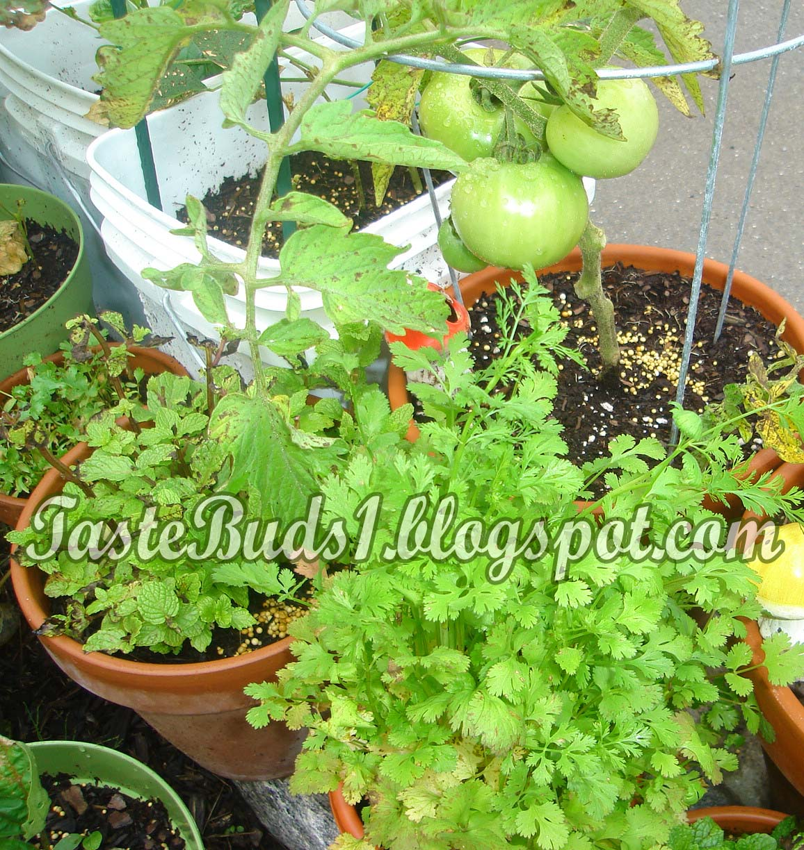 how to cut fresh cilantro from garden