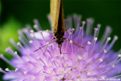 fjäril, suger, nektar, snabel, blomma, foto anders n
