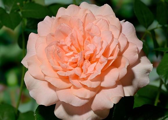 Samaritan rose сорт розы фото
