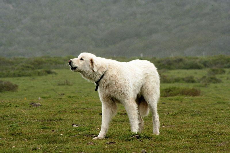 Akbash Dog Breeds